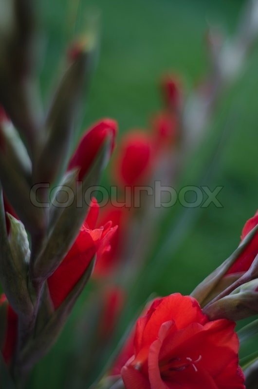 st ngel von scarlet rote gladiolen bl ten stockfoto colourbox. Black Bedroom Furniture Sets. Home Design Ideas