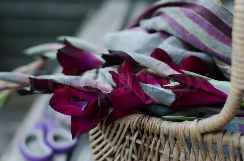 gladiolagladioli gladiolus of a rich intense plum