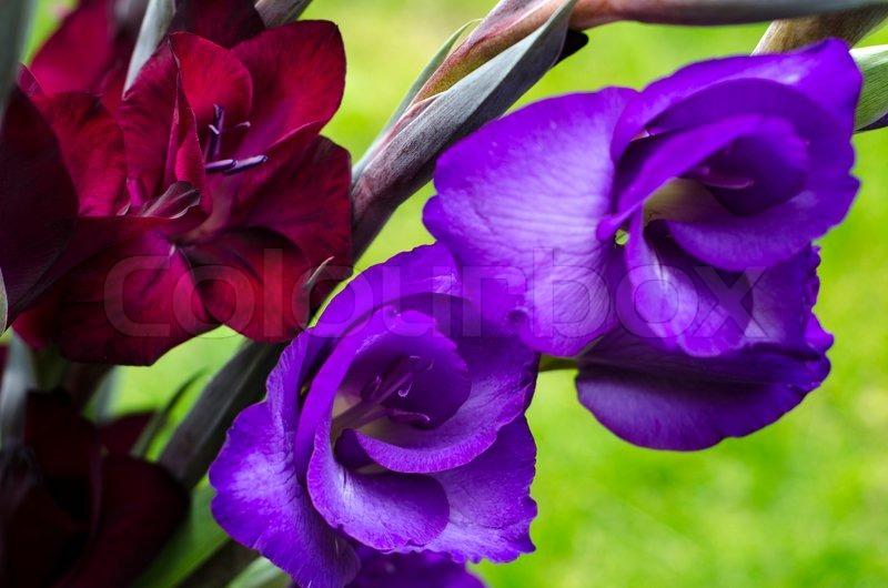 opening flowers of burgundy crimson and purple gladiola