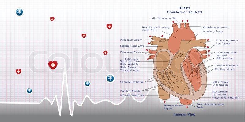 Herz-Anatomie und EKG-Hintergrund | Vektorgrafik | Colourbox