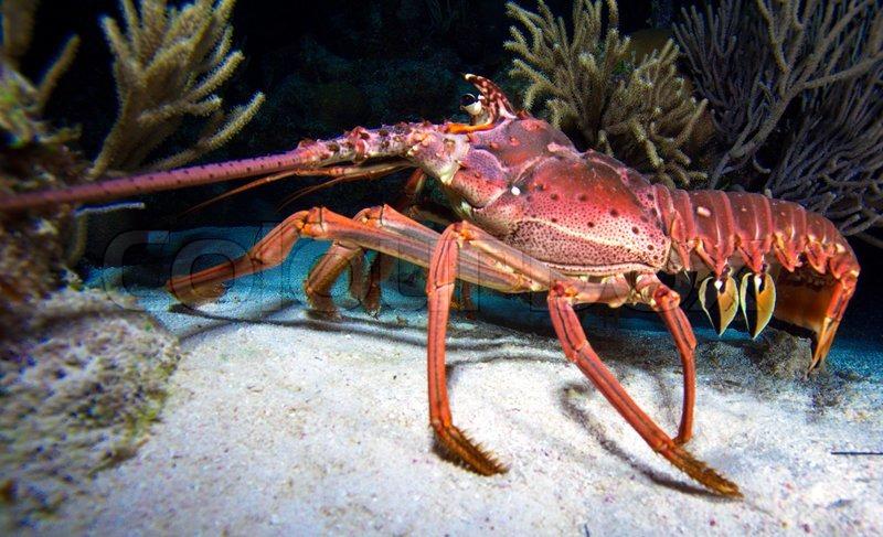 Lobster Underwater Red lobster in ...