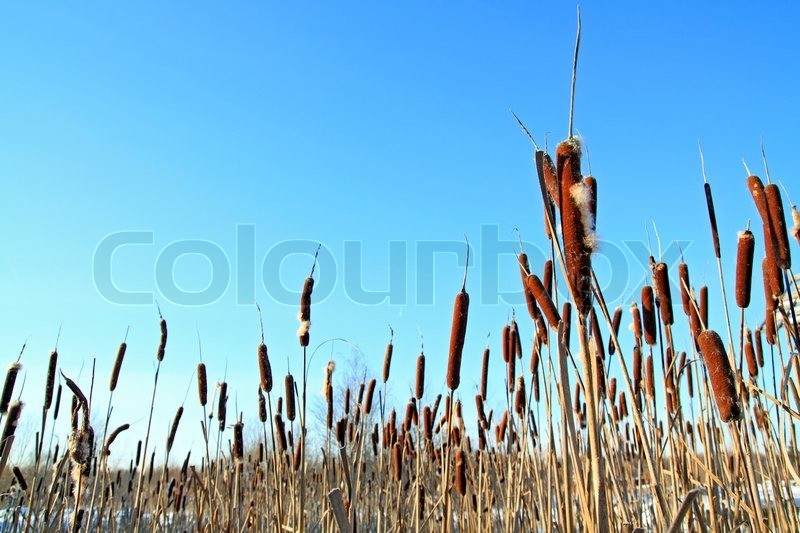 Stock image of 'Dry bulrush on celestial background'