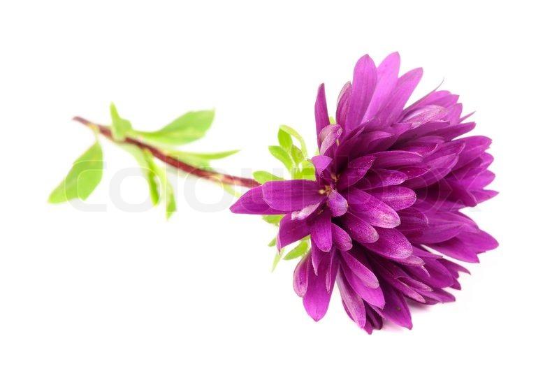 Purple chrysanthemum mum flower isolated on white background stock purple chrysanthemum mum flower isolated on white background stock photo mightylinksfo Choice Image