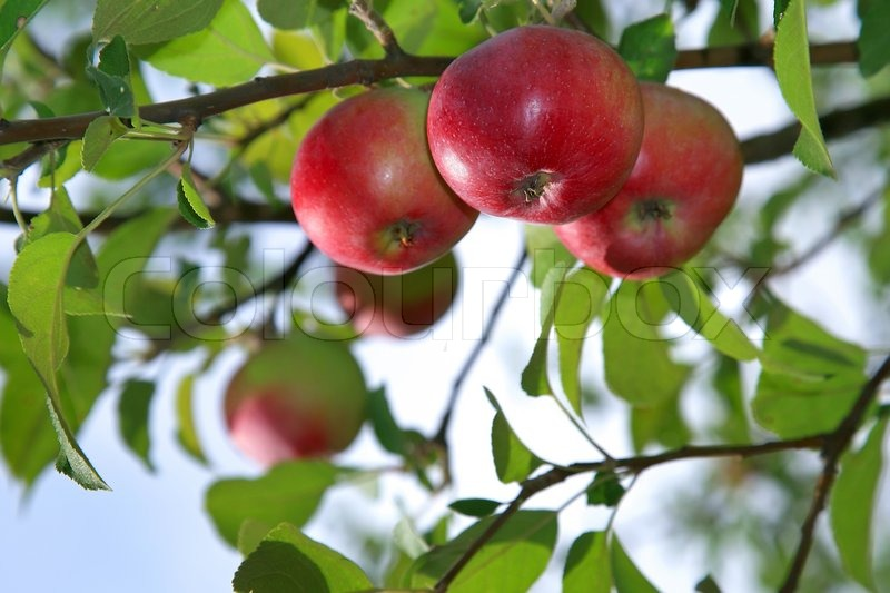 Red apples on an apple-tree branch in the garden | Stock ...