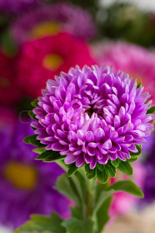 aster flower  stock photo  colourbox, Natural flower
