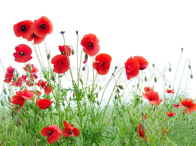 red poppies stock photo colourbox