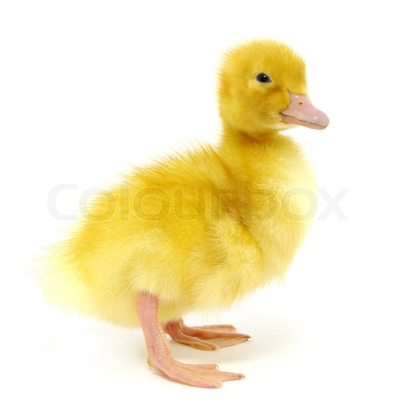 Go Back > Gallery For > Yellow Ducks