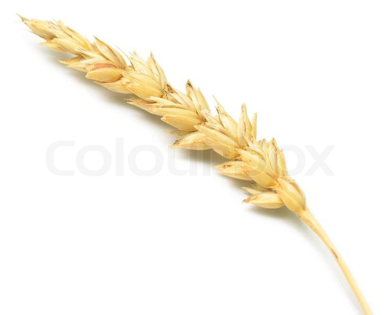 Wheat spike   Stock Photo   Colourbox