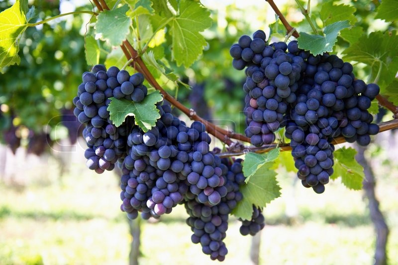 Purple red grapes with green leaves on the vine, stock photo