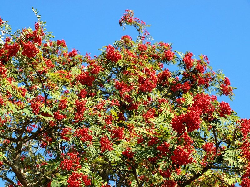 Rowan Berry Tree With Rowan Berries Green Leaves Stock