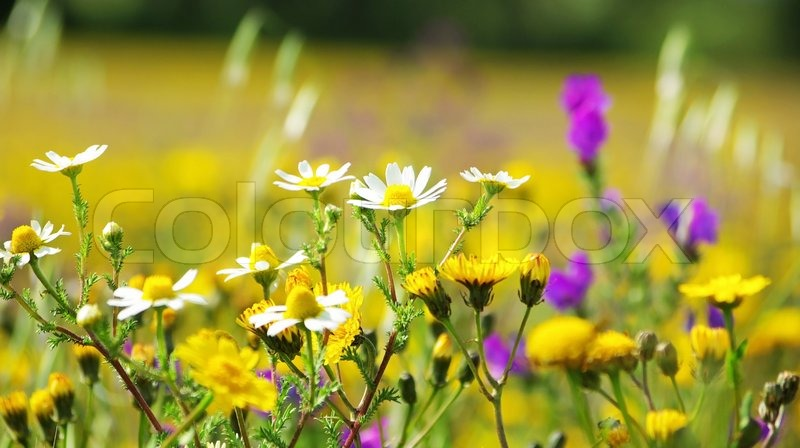 Stock Image Of Wild Flowers In The Field Portugal