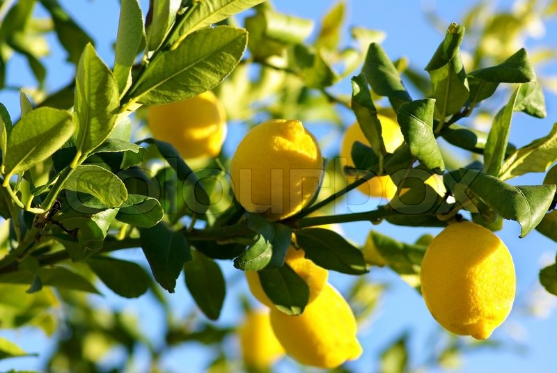 Lemon Tree Images Hd
