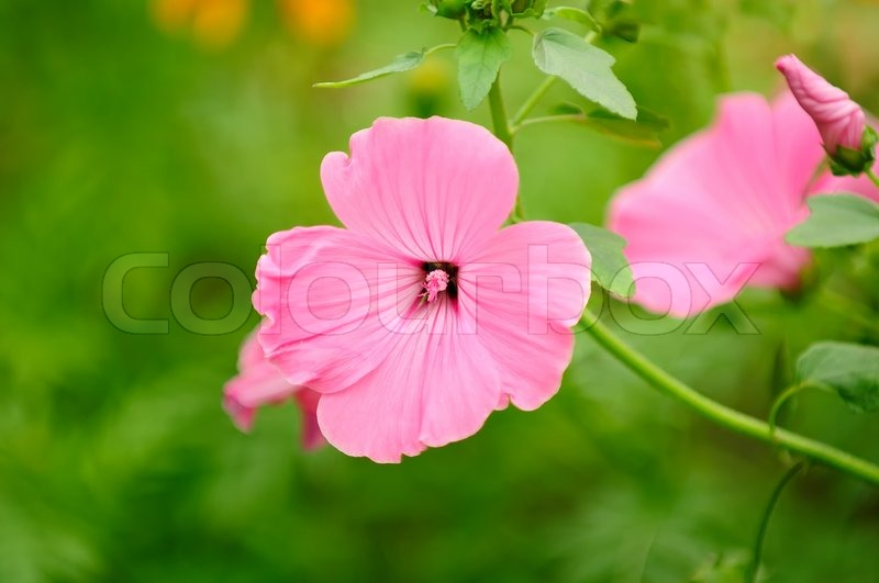 Pink malva moschata musk mallow flowers on flower bed stock stock image of pink malva moschata musk mallow flowers on flower bed mightylinksfo