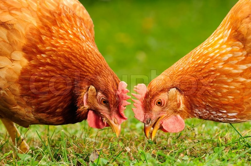 Domestic Chickens Eating Grains And Stock Photo Colourbox