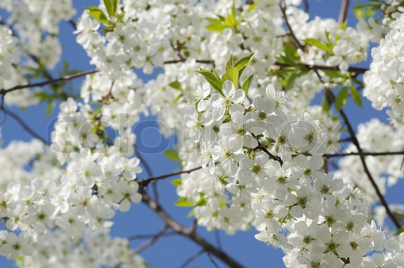 Cherry tree with white blossoms in spring stock photo colourbox cherry tree with white blossoms in spring stock photo mightylinksfo Images