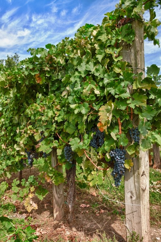 Grapes on the Vine, stock photo