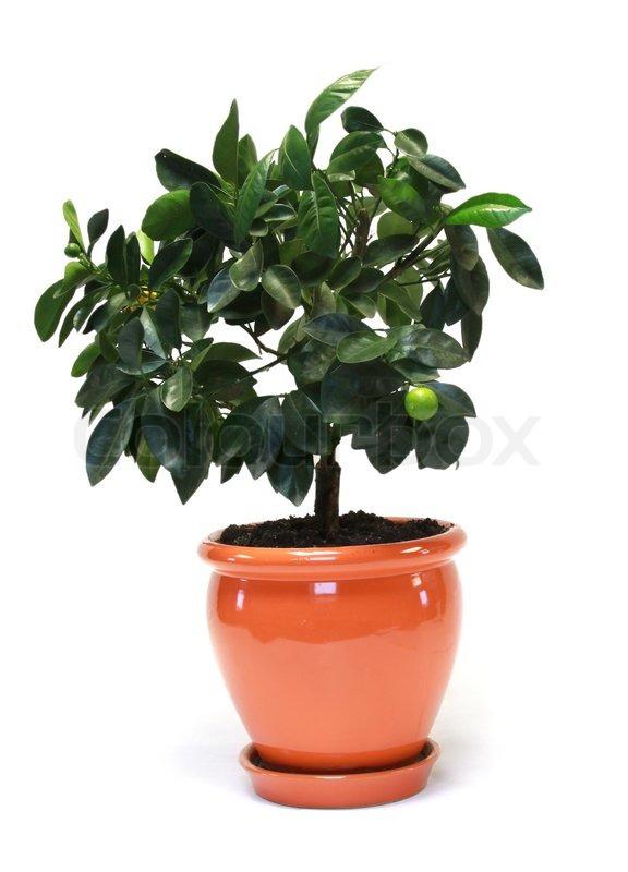 Etwas Neues genug Citrus Baum im Topf isoliert auf weiss | Stock Bild | Colourbox &ZR_02