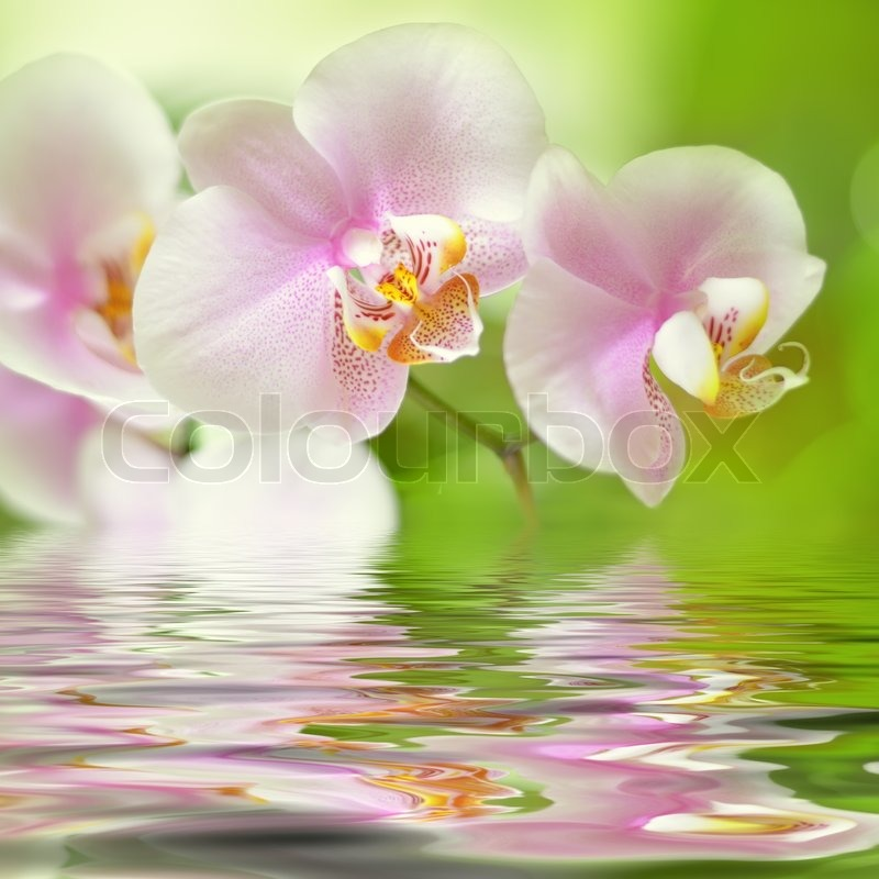 White Orchid Water Pink: Beautiful Pink Orchid Flower Background ...