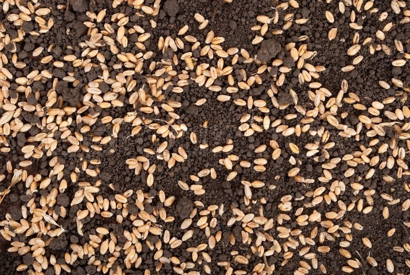 Wheat grain on the soil stock photo colourbox for Preparation of soil wikipedia