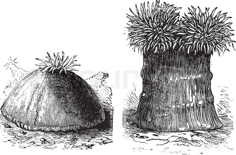 Opened and close sea anemone old engraved illustration Sea anemones ...