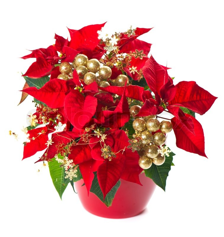 roter weihnachtsstern weihnachten blume mit goldene dekoration stockfoto colourbox. Black Bedroom Furniture Sets. Home Design Ideas