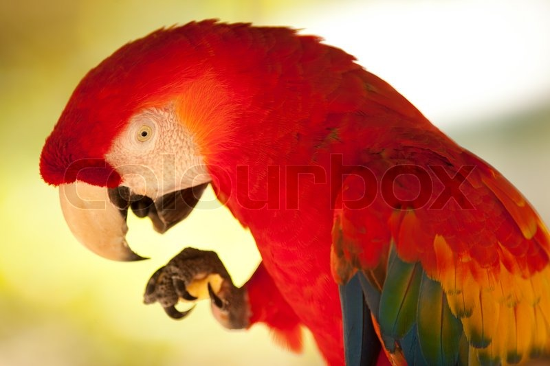 Colorful, mainly red parrot in the tropical summer in Costa Rica, stock photo