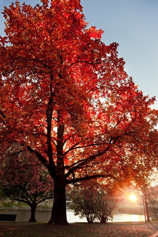 autumn fall tree in strong red color during sunset in a park in sweden stock photo colourbox