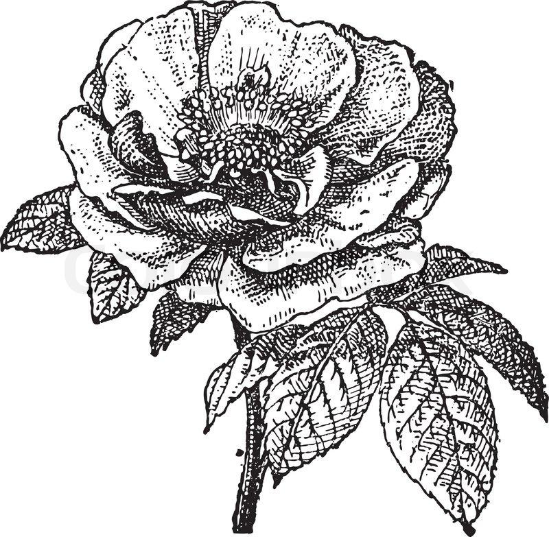 rose  provins vintage engraving stock vector colourbox