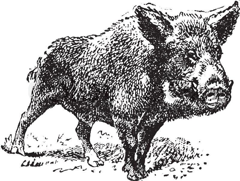Boar or wild pig, vintage engraved illustration Dictionary of words ...