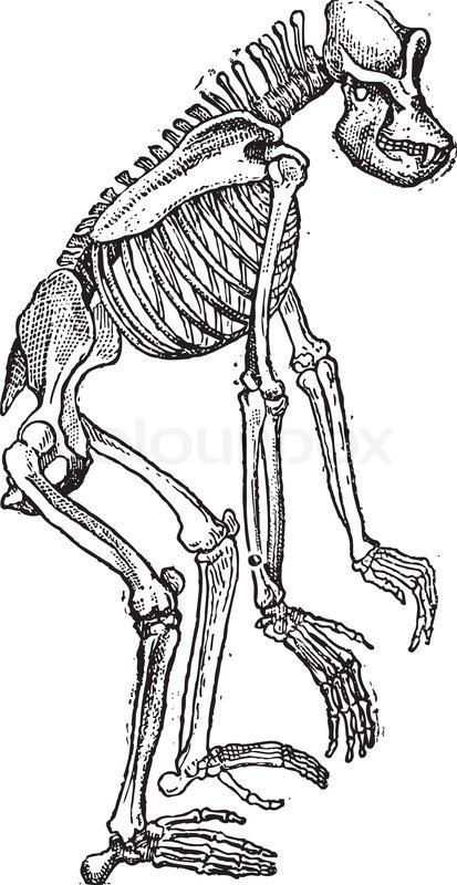 Skeleton of Gorilla vintage engraving | Stock Vector ...