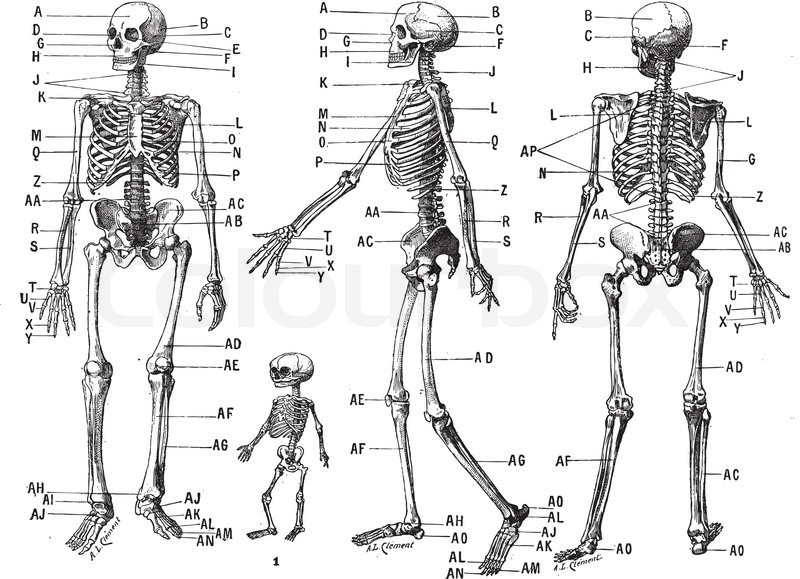 das menschliche skelett vintage gravur vektorgrafik colourbox. Black Bedroom Furniture Sets. Home Design Ideas