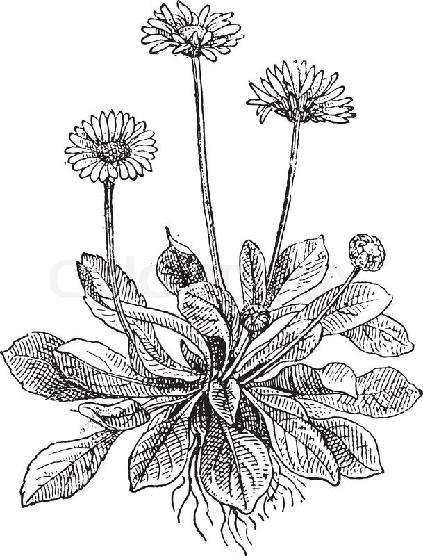 Flower Line Drawing Vintage : Common daisy or bellis perennis showing flowers vintage