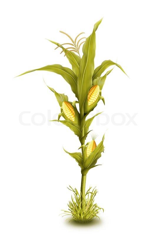 illustrated corn stalk isolated stock photo colourbox rh colourbox com fall corn stalk clipart corn stalk bundle clipart