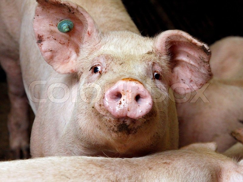 Stock image of 'Pig close up'