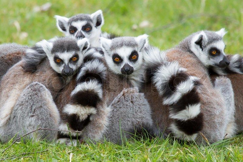 ringtailed lemur lemur catta stock photo colourbox