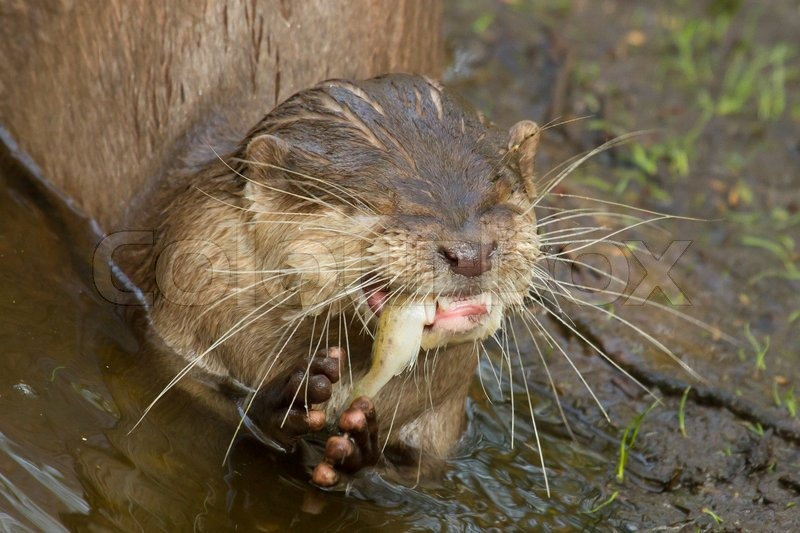 Ein Otter frisst | Stockfoto | Colourbox