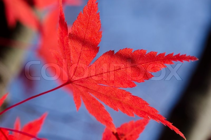 Detail of a red leaf of Acer palmatum, japanese maple on the tree in autumn, stock photo