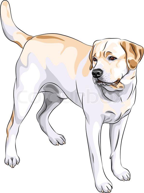 Vector Sketch Yellow Gun Dog Breed Stock Vector
