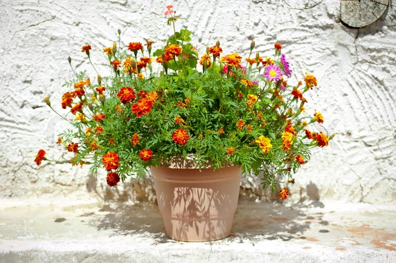 Garden Flower Pot With Growing Tagetes French Marigolds Stands Outdoors  Near House Wall At Village | Stock Photo | Colourbox