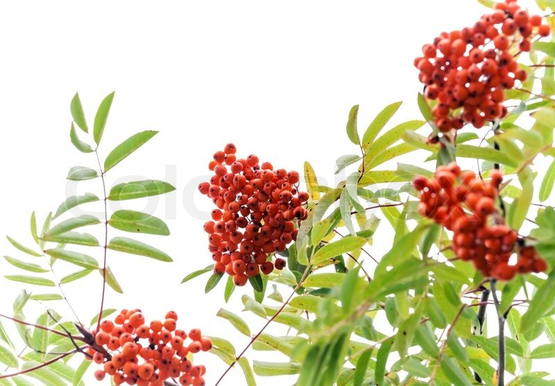 Branch of a rowan tree with bright red berries isolated on white branch of a rowan tree with bright red berries isolated on white stock photo colourbox mightylinksfo