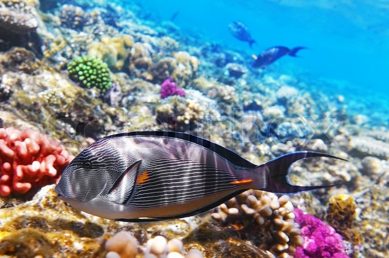 Coral and fish in the red sea fish surgeon stock photo for Red sea fish