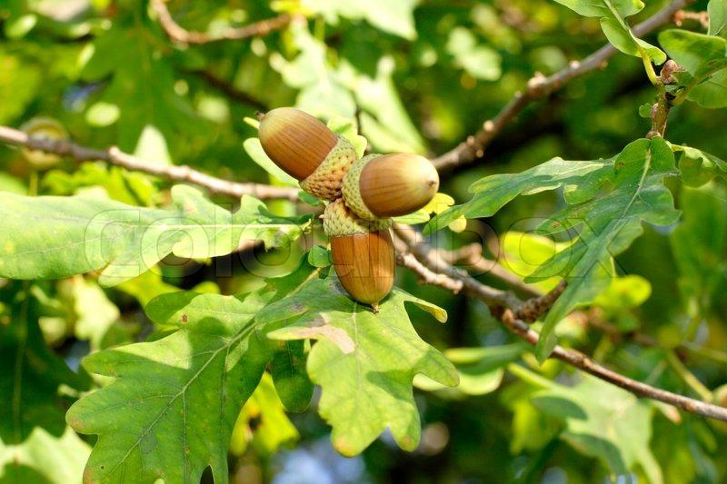 Three ripening acorns on oak twig surrounded by oak leaves ...