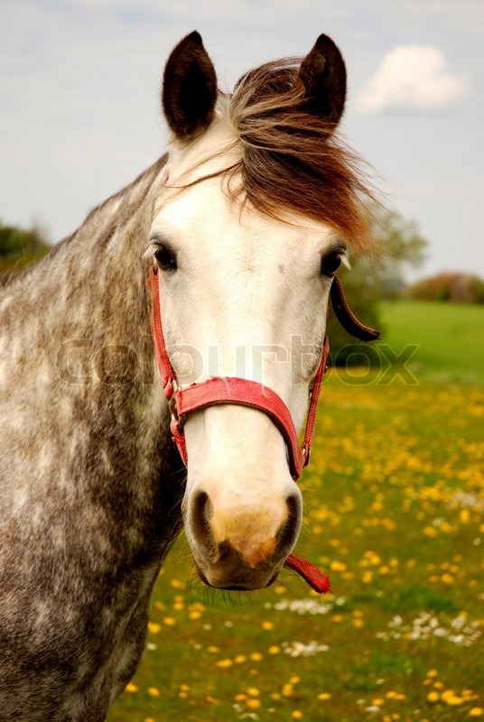 A Dapple Grey Horse Facing You Amidst A Field Of