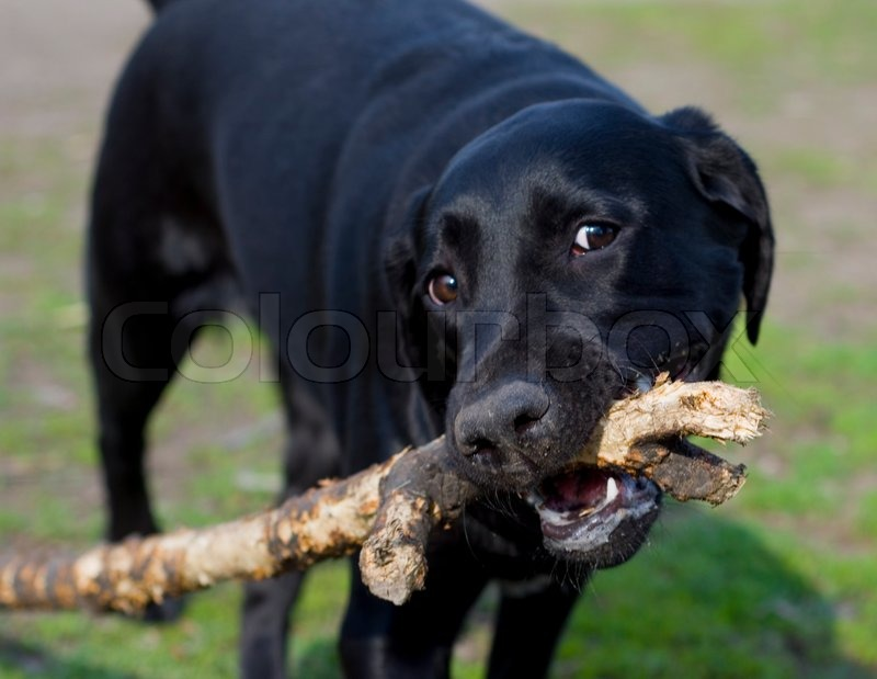 Stock image of 'Closeup of a funny Labrador Retriever chewing on a stick (with focus on the nose)'