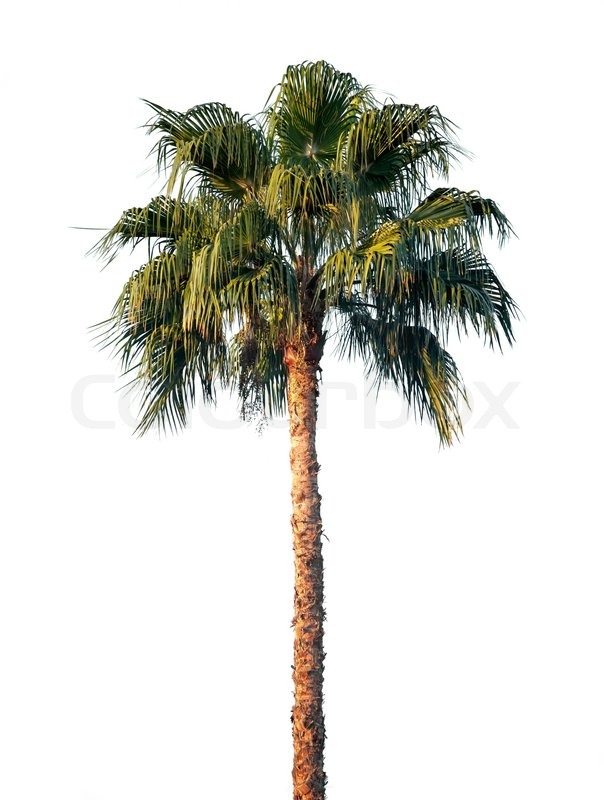 Bright Palm Tree Isolated On White Background Stock