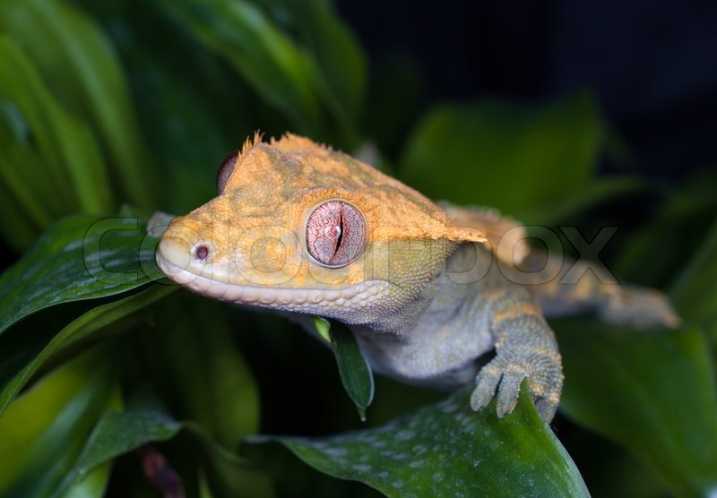 Uk Crested Gecko Dk Kronegekko Previously Name Rhacodactylus