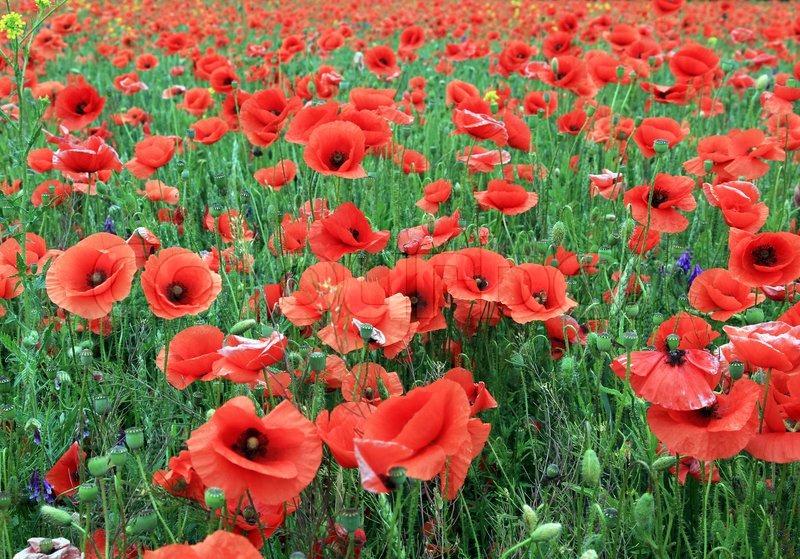 poppy red background - photo #17