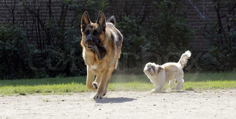 Shih Tzu German Shepherd Mix Little shih tzu dog chasing a