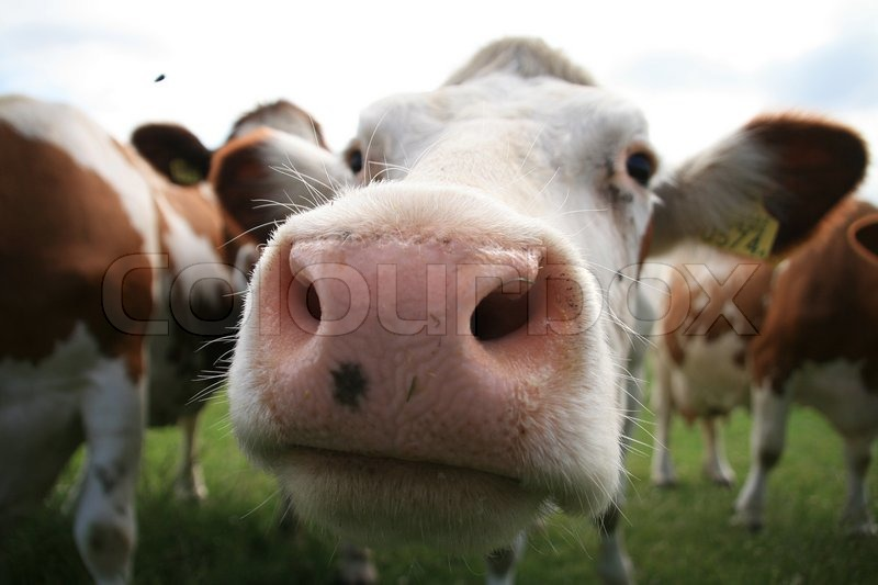 Farm Animals Curious Close Up Cow Muzzle In The Field In