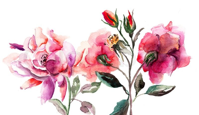 Beautiful Roses Flowers Watercolor Stock Image Colourbox
